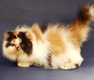Unduh 101+  Gambar Kucing Jantan 3 Warna Lucu HD
